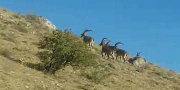 Boynuzlu dağ keçileri sizce Türkiye'nin hangi ilinde görüntülendi