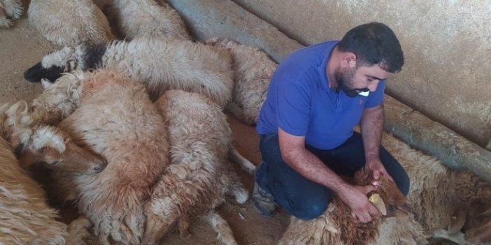 Şanlıurfa'da 150 koyun çırpına çırpına öldü. Çobanın dünyası başına yıkıldı