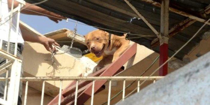 Adana'da pitbull operasyonu, biri sahipli iki köpeğe el koyuldu