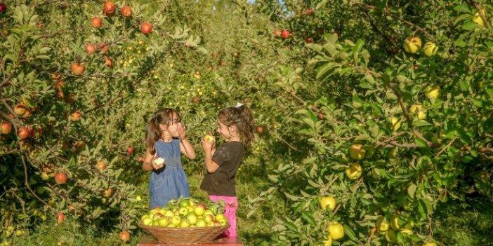 Edremit'te elma hasadı başladı