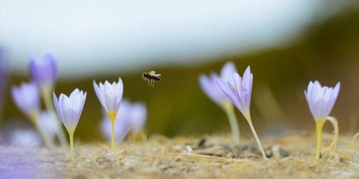 Tunceli'de çiçek açan vargitler, kışın haberini de getirdi