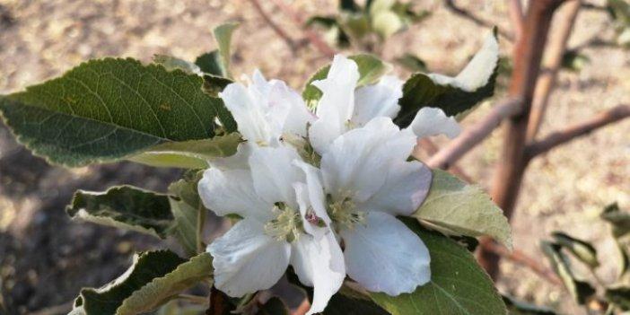 Çiçek açan elma ağacı bakın neyin habercisi