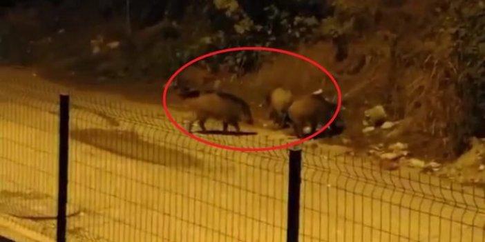 Aç kalan domuzlar Bursa'yı işgal etti