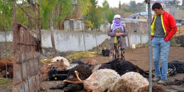 Muş'ta köylüler ölüm kederi yaptı. 25 koyun çırpına çırpına can verdi. Ağıt sesleri kulakları sağır etti