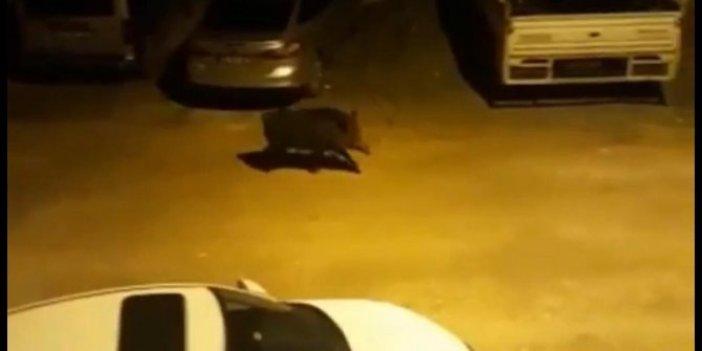 Hatay'da kent merkezine inen yaban domuzu böyle görüntülendi