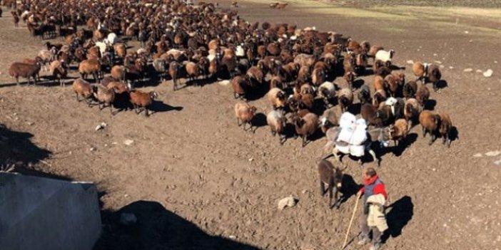 Binlerce koyun tehdit altında. Sahipleri gece olsun istemiyor