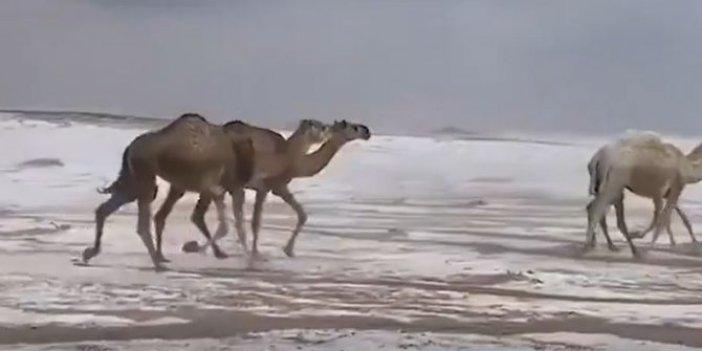 Çöl develerinin kar keyfi. İzlenme rekoru kırdı
