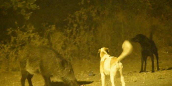 Domuz ve köpeklerin kan donduran kapışması