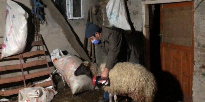 Kurtlar koyunları pusuya düşürdü