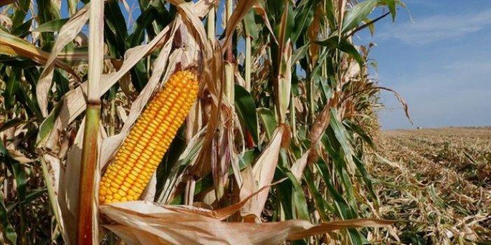 Türkiye'deki mısır üretiminde bu yıl rekor beklentisi