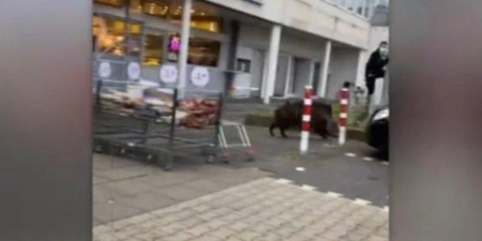 Domuz markete girdipolis direğe tırmandı