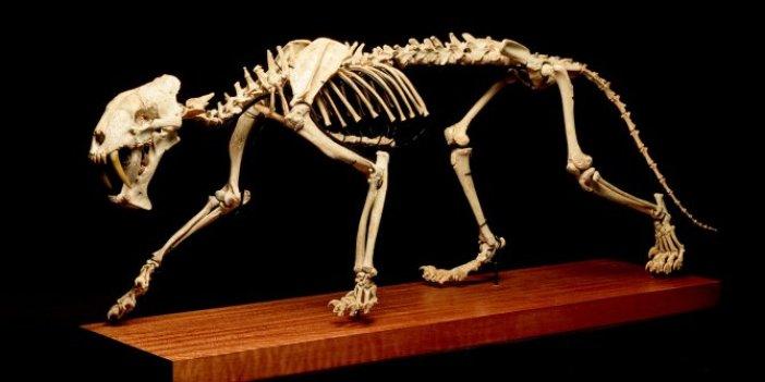 37 milyon yaşında 120 santimetre uzunluğunda. Gergedan avcısı Cenevre'de