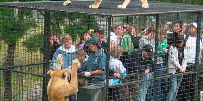 Tayland'daki hayvanat bahçesinde vahşet! Kafese giren görevliler hayatlarının şokunu yaşadı