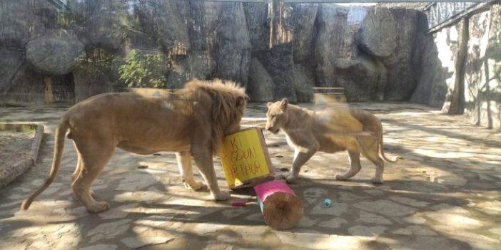 Beyaz aslana doğum günü sürprizi