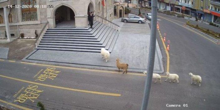 Belediyeyi basan koyunlar personele saldırdı. Belediye personeli ne yapacağını bilemedi