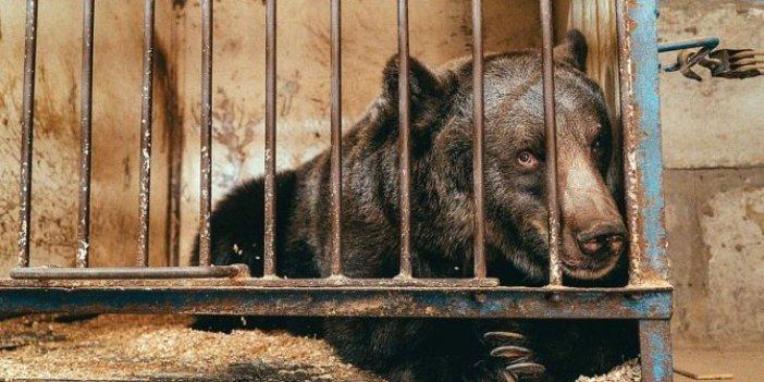 Dünyanın en yalnız ayısı yeni evine kavuştu