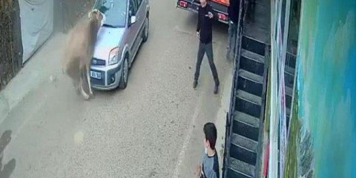 İnek otomobile kafadan çarptı