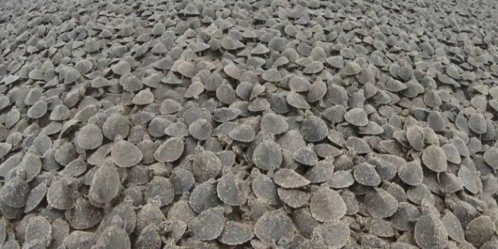 Amazon Nehri'nde kaplumbağa seli sosyal medyada gündem oldu