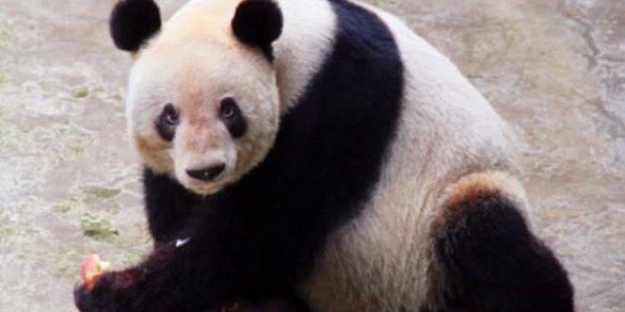 Dünyanın en yaşlı pandası şok etti