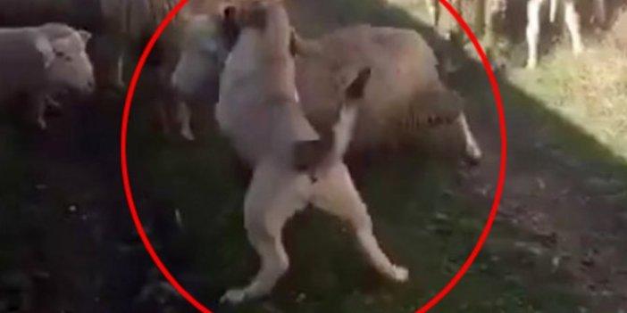 Cani adam 'saldır' komutunu verdi. Azgın köpek koyunu tek hamlede yere serdi
