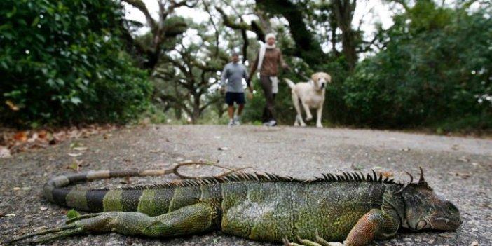 Gökten yağmur gibi iguana yağıyor. Şaka değil gerçek