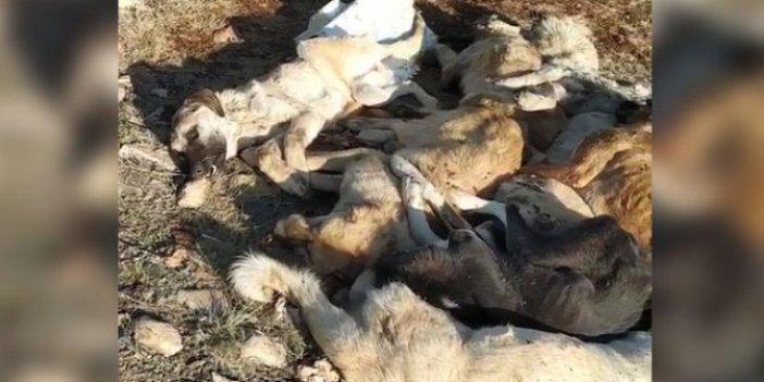 29 köpek baygın bulundu