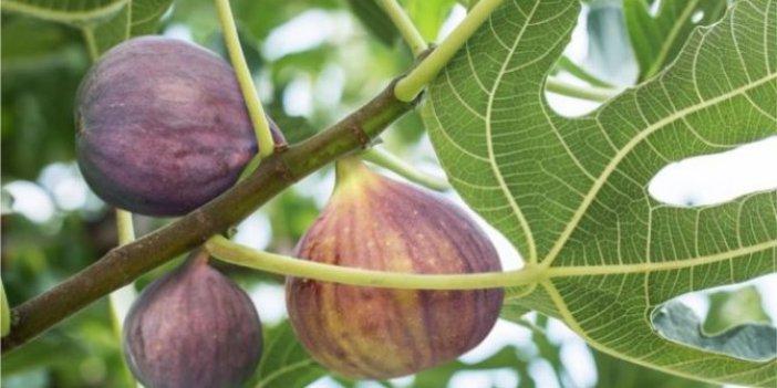Neden Ocağıma incir Ağacı diktin derler, biliyor musunuz? Neden incir ağacı evlerden uzağa dikilir?