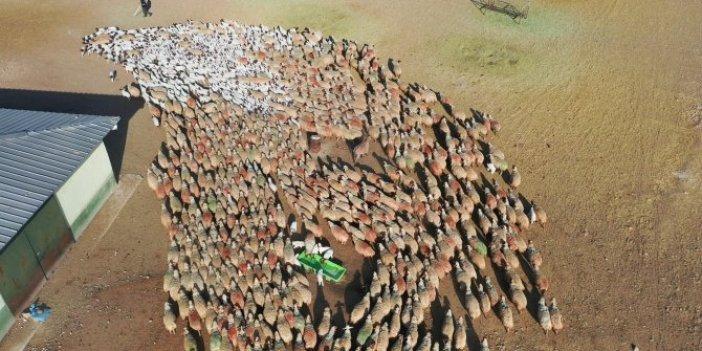 Kuzuların annelerini bulma yarışı. Bin 400 hayvan içinden şak diye buluyorlar