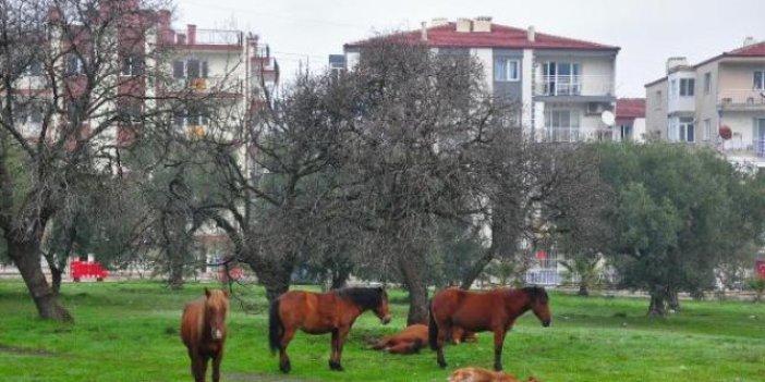 Yılkı atları şehir merkezine indi. Görenler hayrete düştü