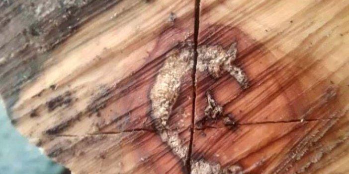 Zonguldak'ta kesilen odunun içinden ay yıldız çıktı