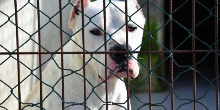 Silah olarak kullanılan pitbull cinsi köpekler kafeste