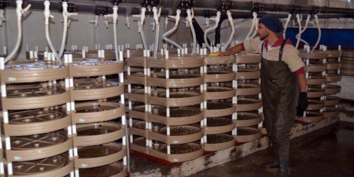 Muş'ta üretilen somon balığı Japonya'ya ihraç ediliyor. Haftada bir tüketilince kalbi zırh gibi koruyor