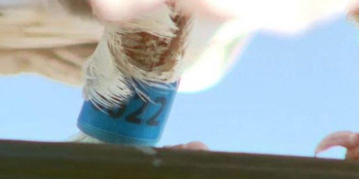 Yarış güvercini Pasifik Okyanusunu uçarak geçti.  Avusturalya hükümetinden şok eden karar. Değeri tahminleri gölgede bırakıyor