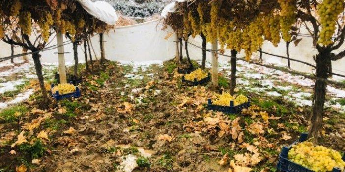 Manisa'da üzümler kar altından toplandı