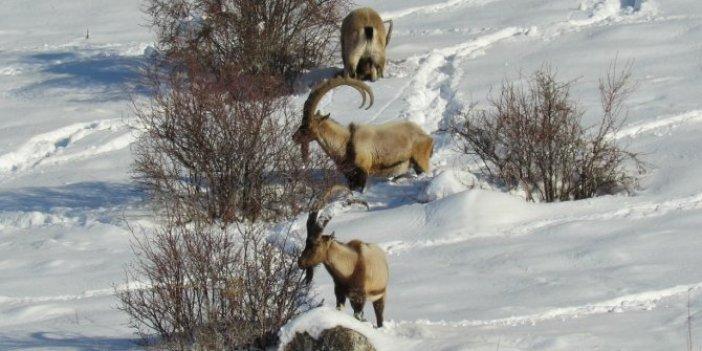 Dağ keçileri yiyecek için Aladağlar'ın eteklerine indi