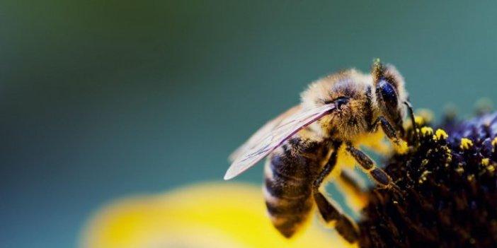 Bilim insanları arılarla ilgili kötü haberi duyurdular