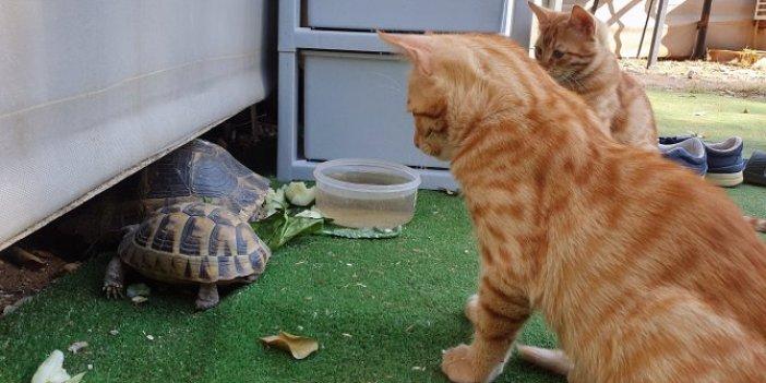 Kedi ve kaplumbağaların dostluğu içleri ısıtıyor