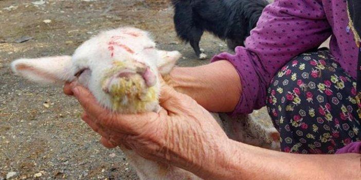 Yeni doğan kuzunun yüzünü görünce neye uğradığını şaşırdı. Sahibi ahıra girdiğinde şok oldu. Türkiye'de dünyaya geldi