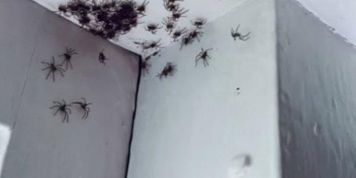 Avustralya evin tavanını örümcekler bastı. Kan donduran görüntü