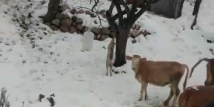 Kümese giren tilkiyi ön ayaklarından bağlayıp ağaca astı. Cezalı tilkiyi inekler seyrederken jandarma geldi