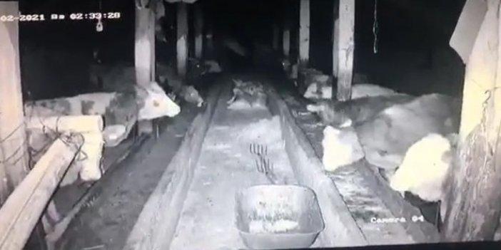 Sivas'ta depreme yakalanan ineklerden aynı tepki. Görüntüler şaşkınlık yarattı